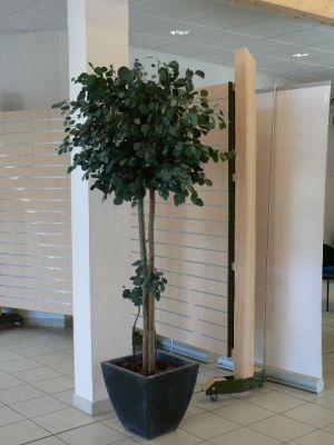 Populus stabilis eucalyptus naturel stabilis sans for Arbre sans entretien
