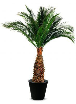 Famille des palmiers