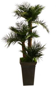 palmiers pho nix ph nix naturels artificiels stabilis s sans entretien. Black Bedroom Furniture Sets. Home Design Ideas